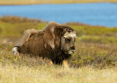Musk Ox, Council Road, Nome, Alaska, 6-10-14. Cropped image.