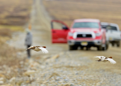 Willow Ptarmigan,  Teller Rd, Nome Alaska, 6-14-14. Cropped image.