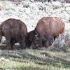 Bison, Grand Teton Nat'l Park, 05/18/2014.
