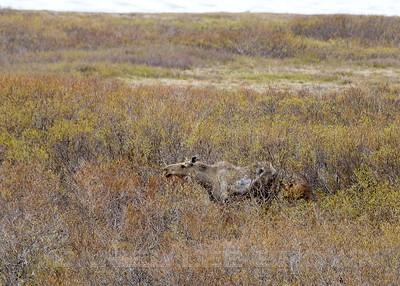 Moose, Kougarok Rd. Nome Alaska, 6-12-14. Cropped image.