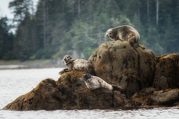 Sea lions in Sitka Bay.
