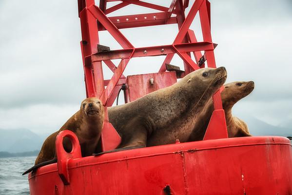 Seals in Sitka Sound.