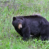 Black Bear, Kootenay Nat'l Park, BC, Canada, 05/22/2014.