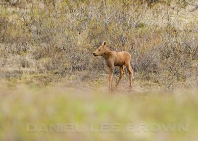 Moose calf, Kougarok Rd. Nome Alaska, 6-12-14. Cropped image.