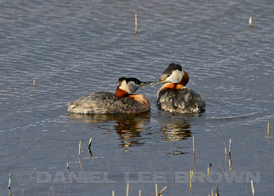 RED-NECKED GREBES.