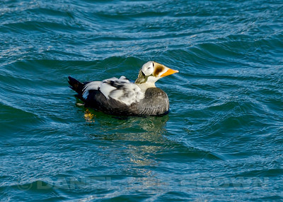 Male Spectacled Eider, Nome harbor, Alaska, 6-10-14. Cropped image.