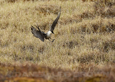 Long-tailed Jaeger, Teller Rd, Nome Alaska, 6-14-14. Cropped image.