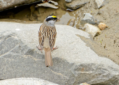 Golden-crowned Sparrow, Kougarok Rd, Nome Alaska, 6-13-14. Cropped image.