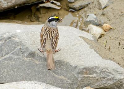 Golden-crowned Sparrow, Kougarok Rd, Nome Alaska, 6-13-14. Cropped image.