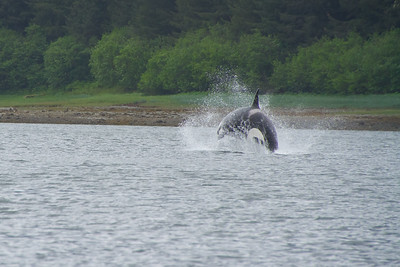 Orca breaching!