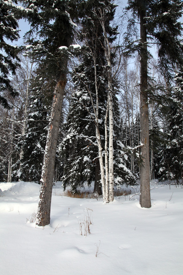 birch and spruce