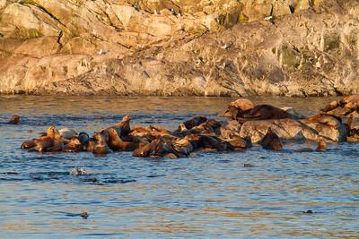 Stellar Sea Lions on Marble Island, Glacier Bay National Park.