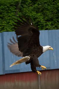 Bald eagle ready to land.