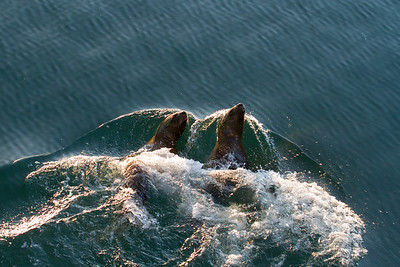 Stellar Sea Lions swimming along-side our ship near Marble Island, Glacier Bay National Park.