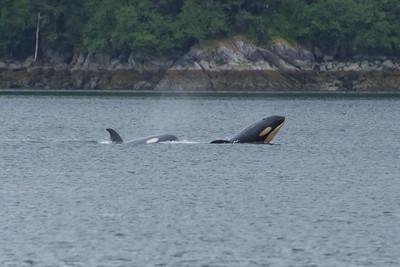 Orca calf, showing his head.