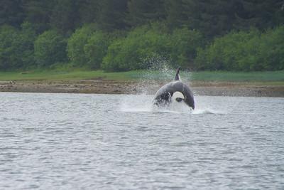 Orca, full breach!