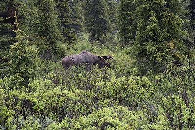 DSC_0379 bull moose