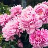 Flower garden at Alyeska Resort