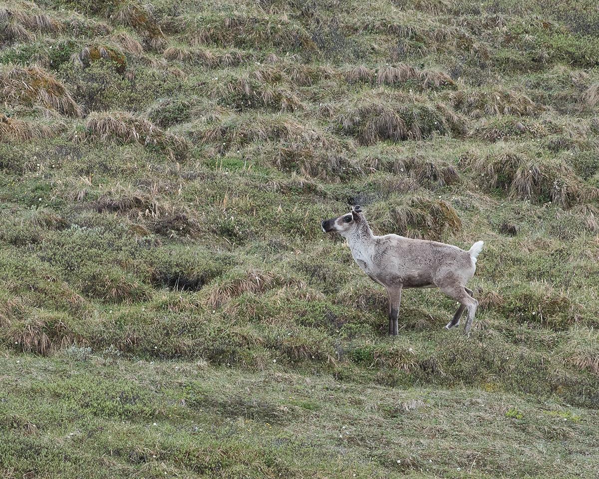 DSC_0429 caribou