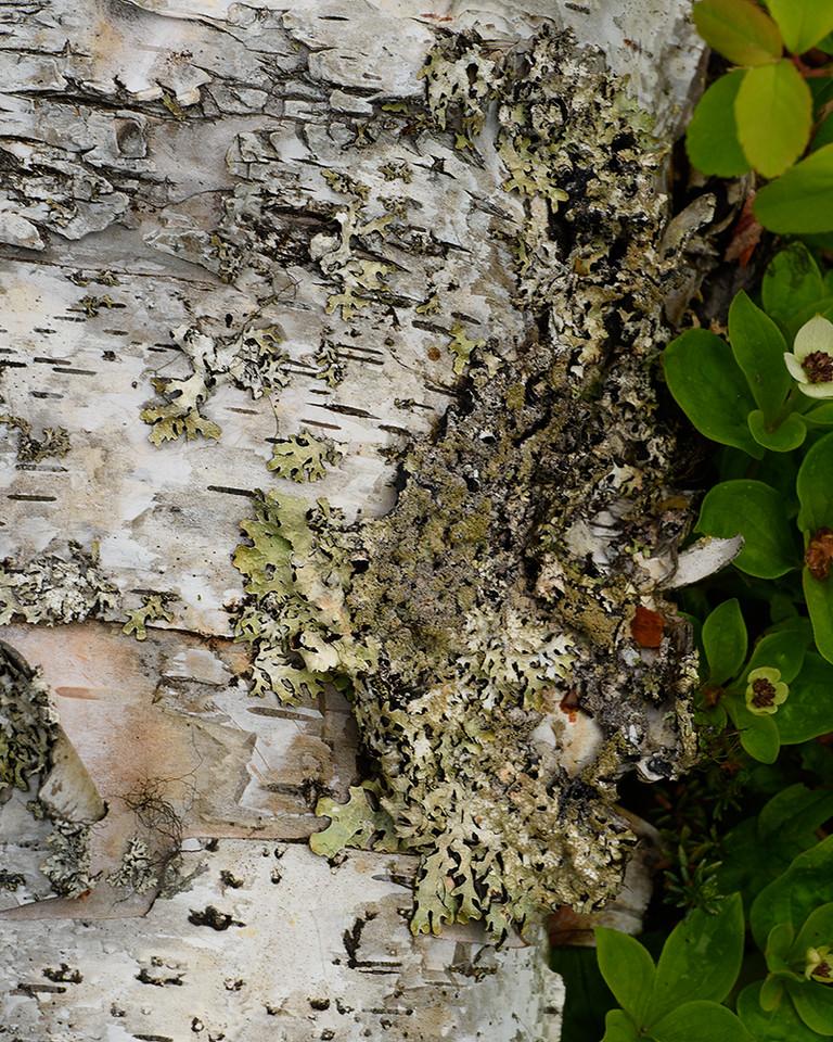 DSC_0352 birch and lichen