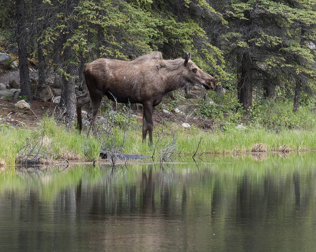 DSC_0719 moose