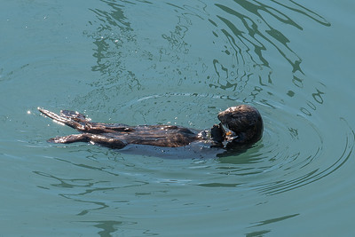Sea Otter Breakfast