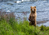Grizzly bear cub standing on hind legs near river