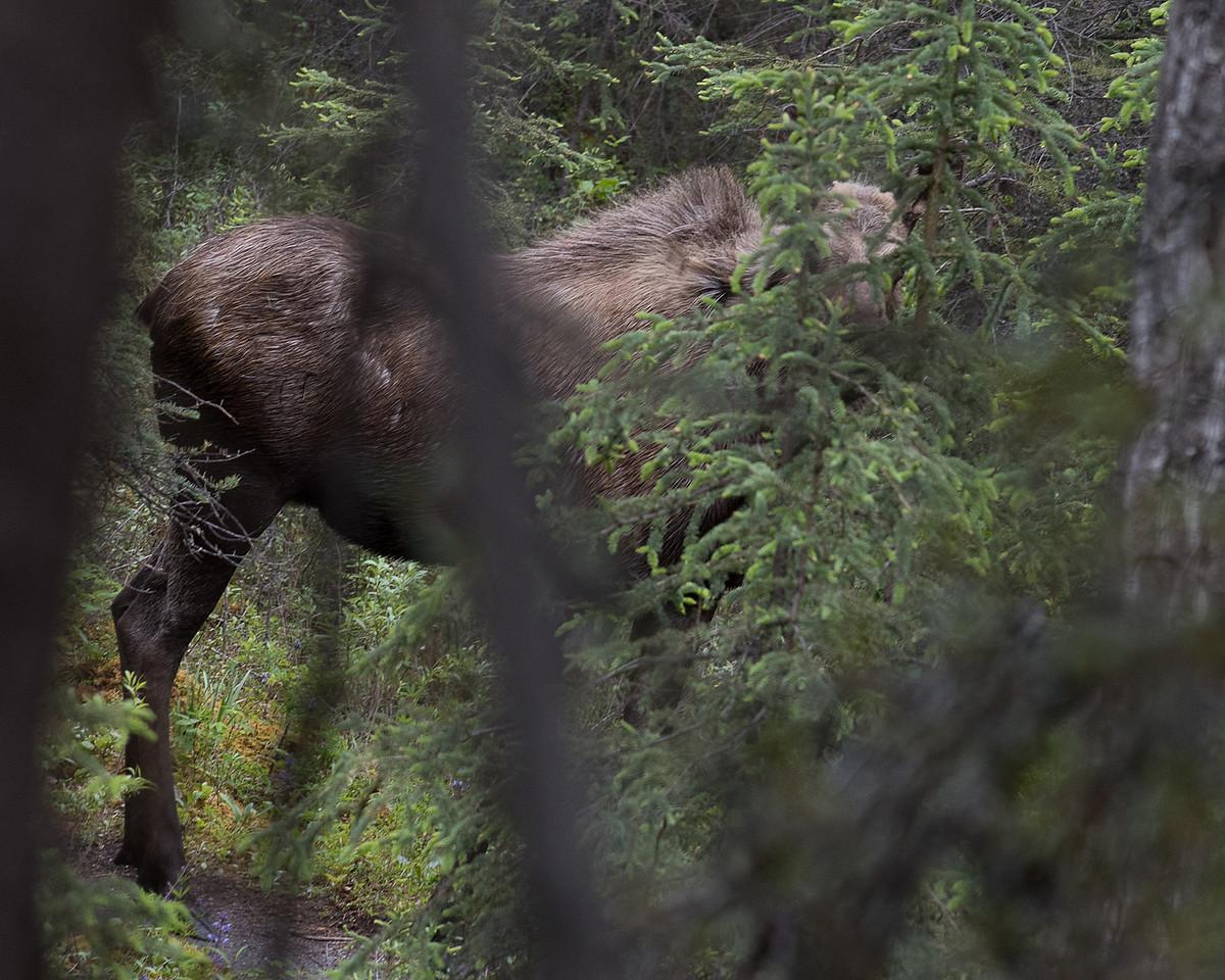 DSC_0591 moose