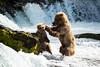 Mother bear disciplines cub stealing her fish