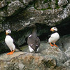 Common Murre and Puffins