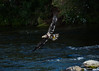 Juvenile bald eagle flying over river