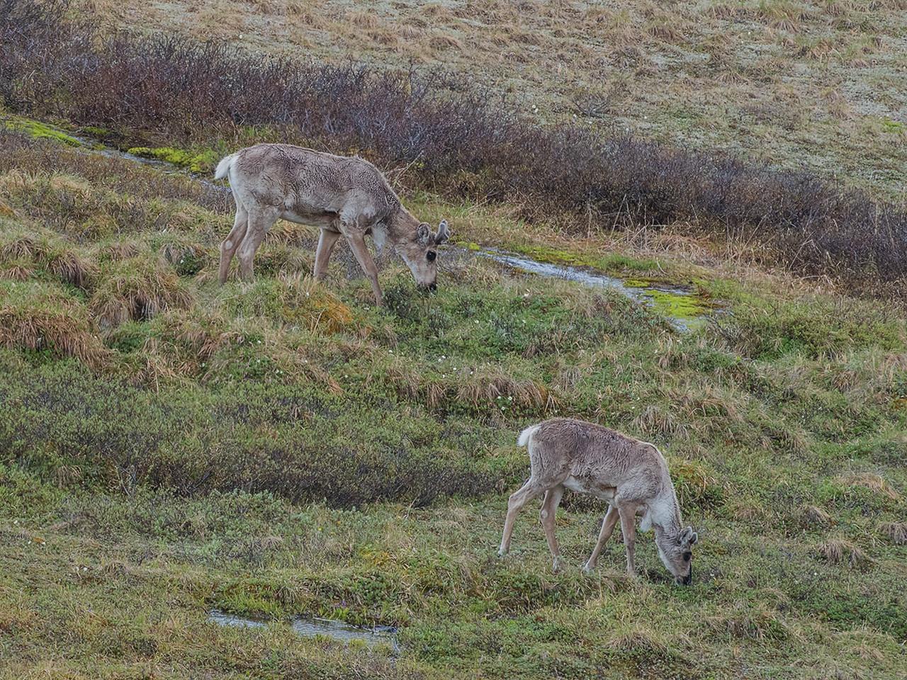 DSC_0425 caribou mom and calf