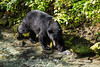 Black bear walking on the side of a small river