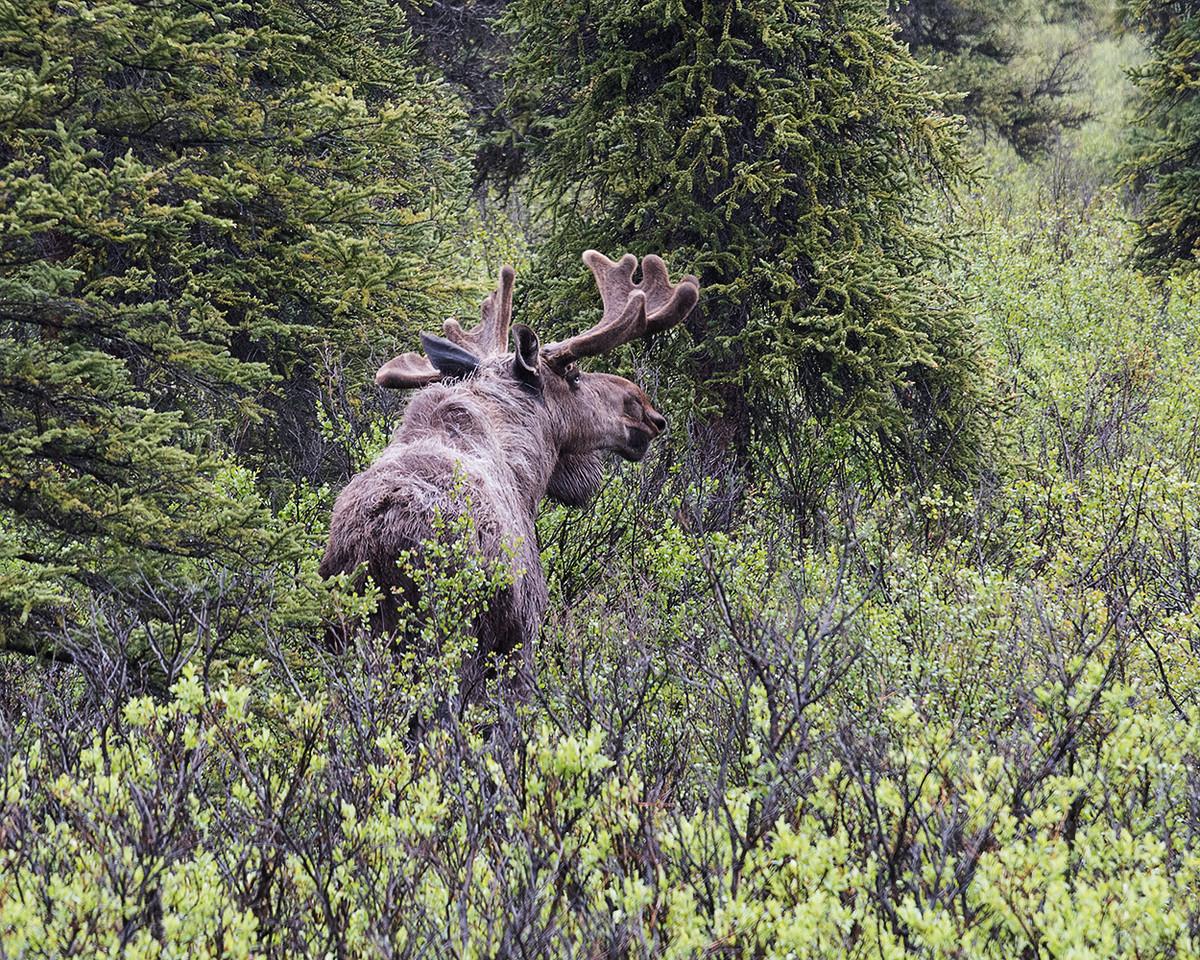 DSC_0369 bull moose