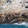 Chiswell Islands Sea Lions
