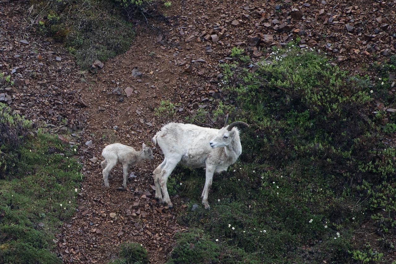 DSC_0530 Dall ewe and lamb
