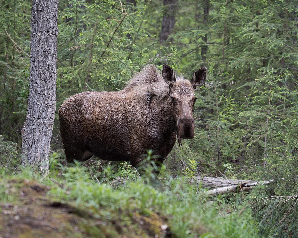 DSC_0623 moose