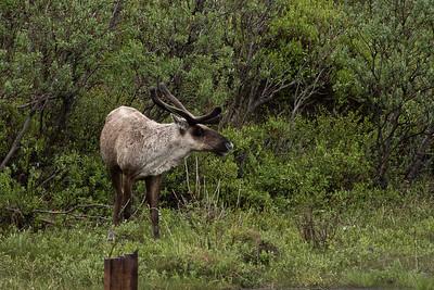 DSC_0566 caribou