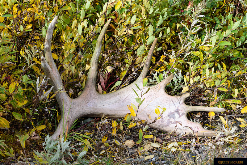 Quite a find in the brush. Large moose antlers found near the road in Denali National Park.