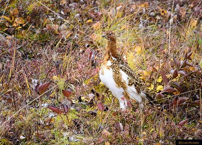 A ptarmigan in the mist of a feather change - preparations for winter.