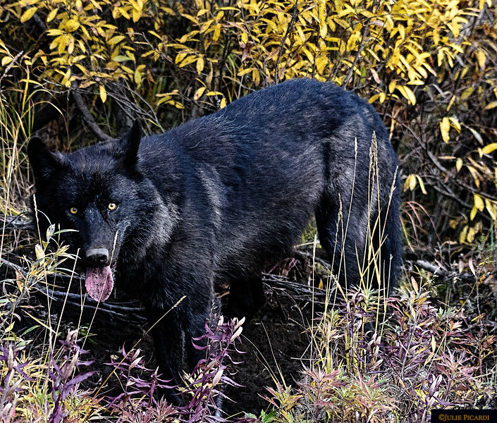 This black wolf has been digging, searching for rodents to eat.