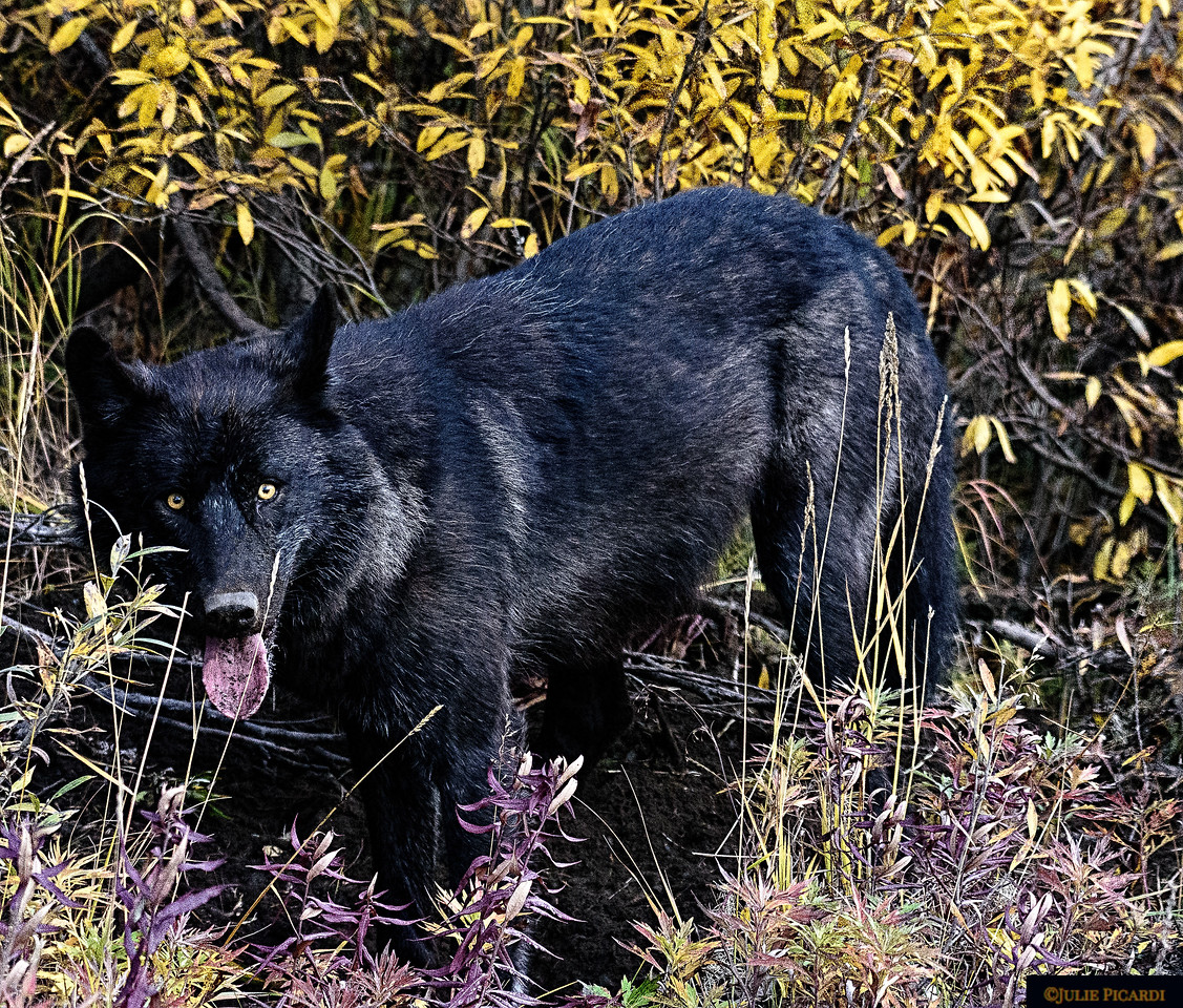 Black Wolf in Denali National Park