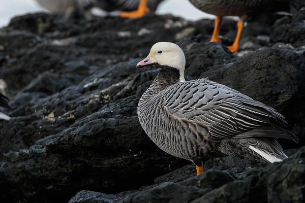 Emperor Goose (Chen canagica)