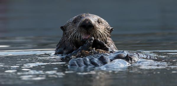 Sea Otter (Enhydra lutris)