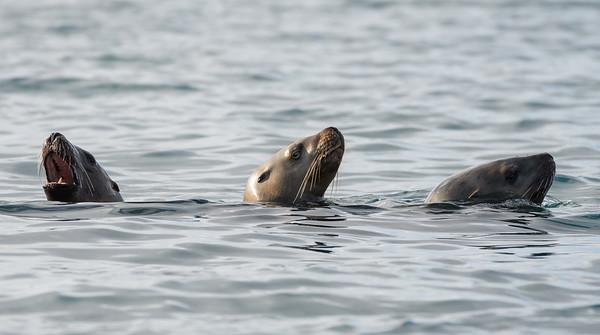 Stellar Sea Lion (Eumetopias jubatus)