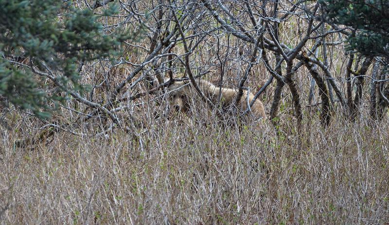 Kodiak Bear (Ursus arctos middendorffi)
