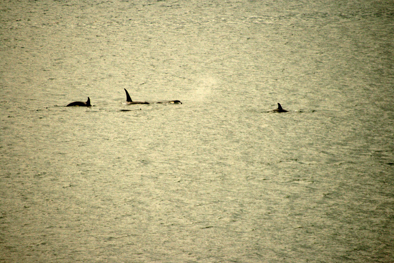 WHOA!!!  Orcas frolic outside out stateroom balcony!!