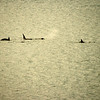 WHOA!!!  Orcas frolic outside out stateroom balcony!!