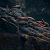 Sea lions at Kenai fjords