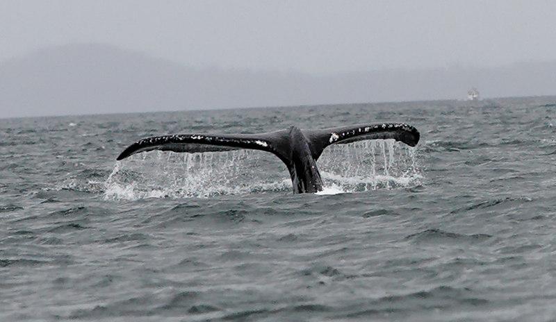 Juneau Humpback Whale